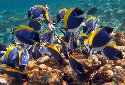 School of Powder Blue Tang (Surgeonfish)