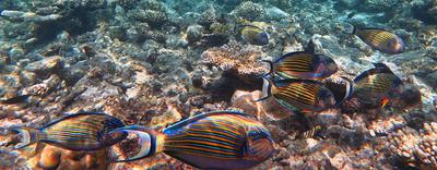 School of Striped Surgeonfish