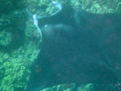 Manta at the cleaning station - Big Island