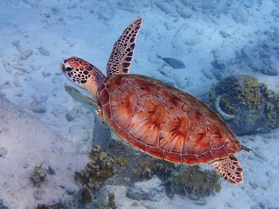 Green Sea Turtle, Spectacular Color, Klein Bonaire
