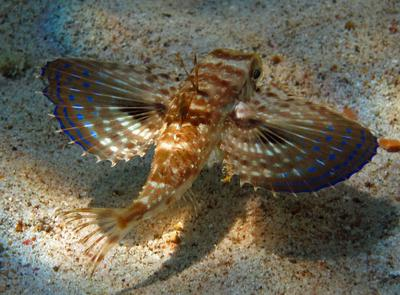 Flying Gurnard @ Playa Jeremi