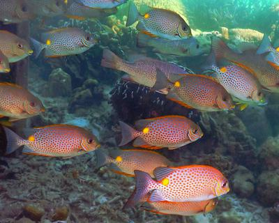 Rabbitfish at Pulau Lankayan