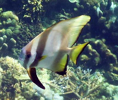 Saw lots of Batfish at Pulau Lankayan
