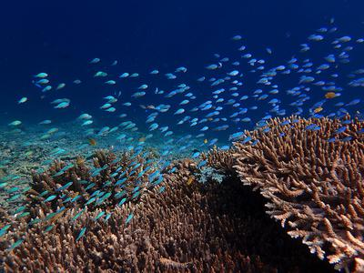 Schools of fish on the coral in Raja