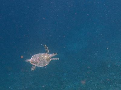 Raja Ampat sea turtle