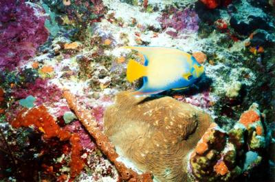 Queen Angelfish In Bonaire