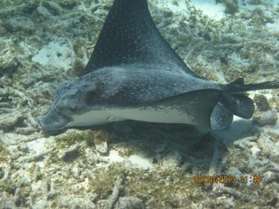 Spotted Eagle Ray, Grand Cayman