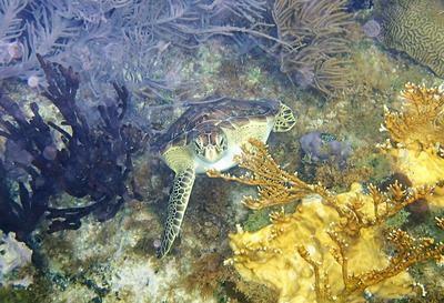 Green Sea Turtle at Grand Turk