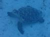 Turtle at Cemetery Beach