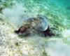 Turtle getting lunch in the sea grass