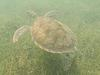 Green Sea Turtle over the sea grass in Freeman's Bay
