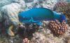 Steephead Parrotfish and Checkerboard Wrasse