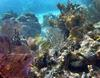 Sea Fans, Coral and grunts