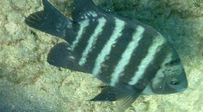 What Is The Name Of This Black Tropical Fish With White Stripes