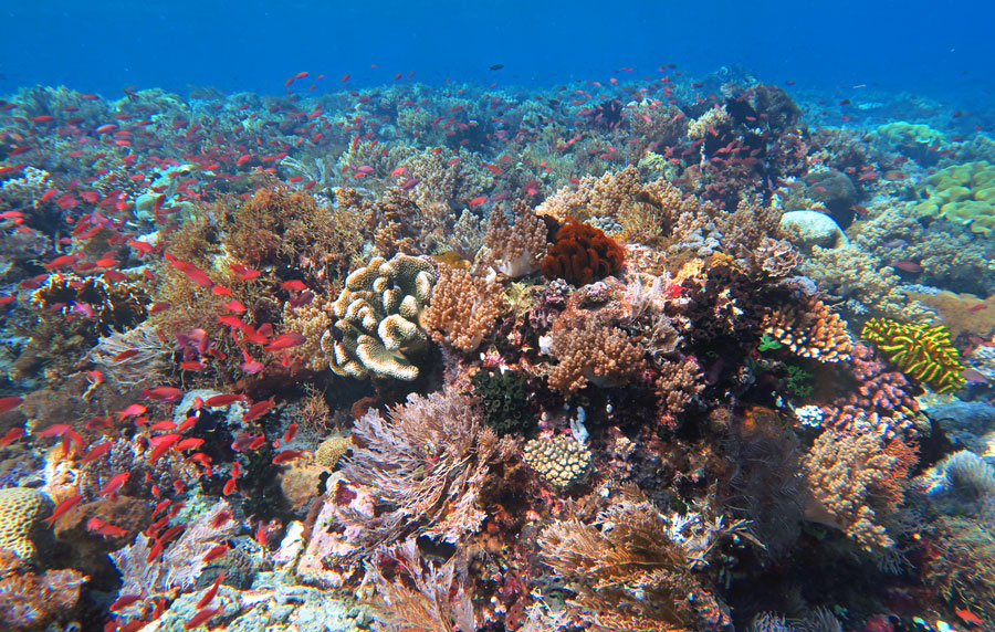 Alor Snorkeling offers colorful and lush shallow reefs full of fish.