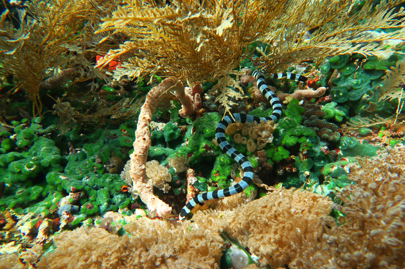 Banded Sea Krait hunting along the reef in Alor.
