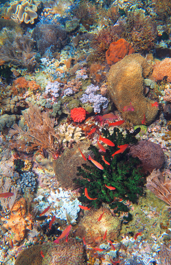 So many types of hard and soft corals, anemones and sponges in Alor.