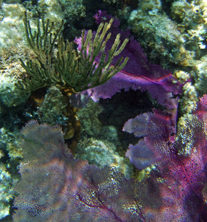 Soft corals seen when snorkeling Ambergris Caye
