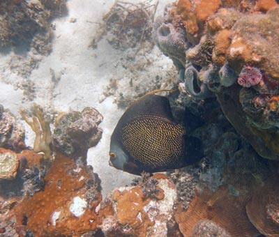 French Anglefish seen snorkeling at the Blue Hole