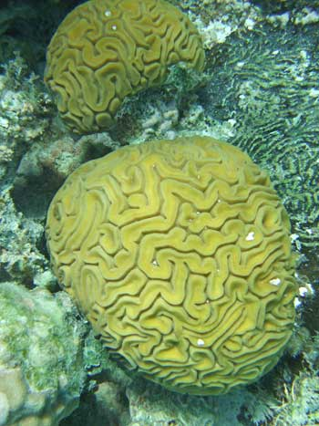 Brain Corals at the Blue Hole