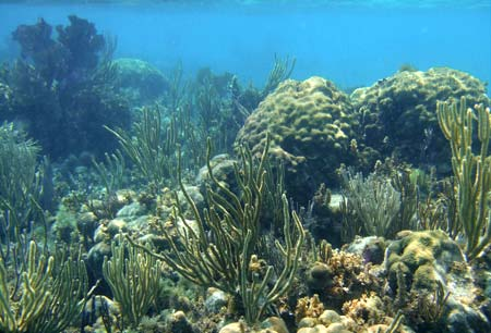 Dense reef seen when snorkeling Gladden Cayes