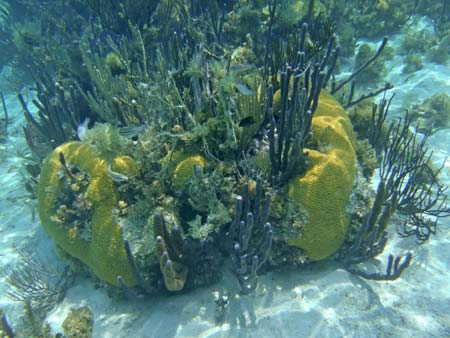 Forest of Sponges growing out of a coral head.