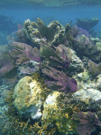 Very typical shallow patch reef seen snorkeling Glovers Reef