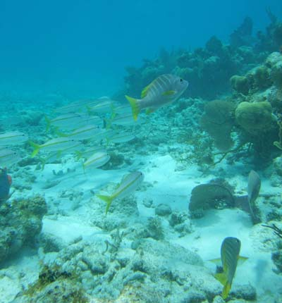 Snorkeling with Yellowtail Snappers and Schoolmasters at Glover's Reef
