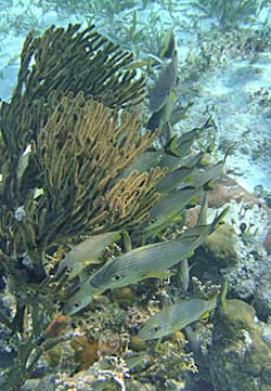 Fish and soft corals seen when snorkeling Hol Chan Marine Reserve