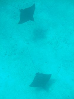 Spotted Eagle Rays - Hol Chan