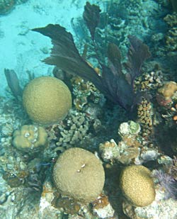 Corals and Sea Fans at Long Caye Wall