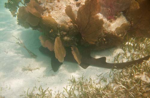 Nurse Shark we saw when snorkeling Pompion Caye - Belize