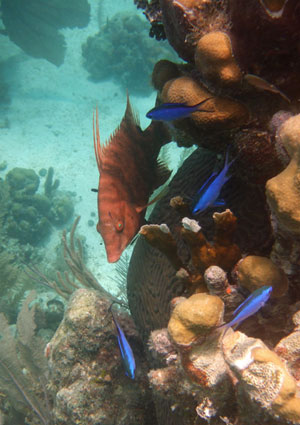 Hogfish & Blue Chromis - seen snorkeling in Belize