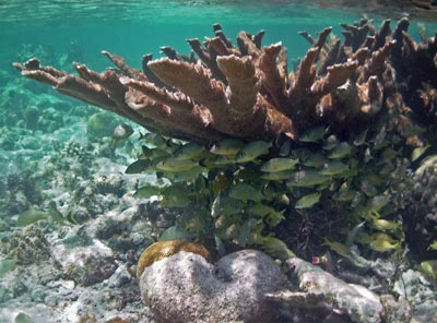 Elkhorn Coral and fish seen while snorkeling Tres Cocos