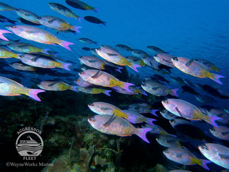 See large schools of fish on this Belize snorkeling trip, like this group of Creole Wrasse.