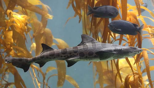 Leopard Shark with kelp - from Wikipedia Commons