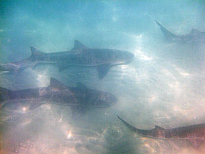 Snorkeling La Jolla Shores with Leopard Sharks