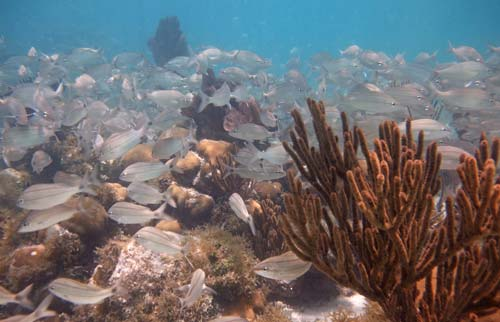 Snorkeling patch reefs with tons of fish at Dry Tortugas National Park
