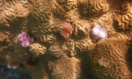 Colorful Christmas Tree Worms on Dry Tortugas moat wall