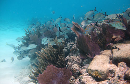 Snorkeling Alligator Reef with school of grunts and sea rods and fans.