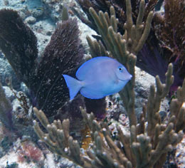 Blue Tang and soft corals at Alligator Reef