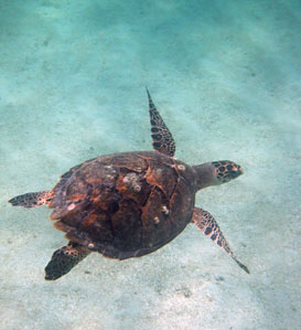 Hawksbill Turtle seen snorkeling at Hen and Chickens