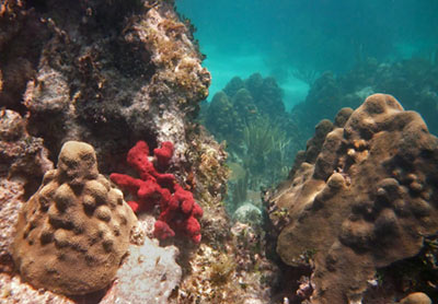 Mountainous Star Coral & Red Sponge