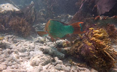 A Rainbow Parrotfish Tail we saw while snorkeling Grecian Rocks.