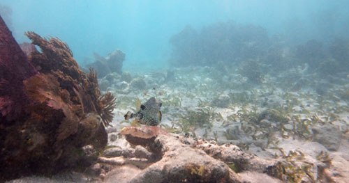Smooth Trunkfish and sea weed covered dead reef at Grecian Rocks