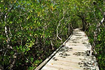 Trail boardwalk through the mangroves at Pennekamp Park