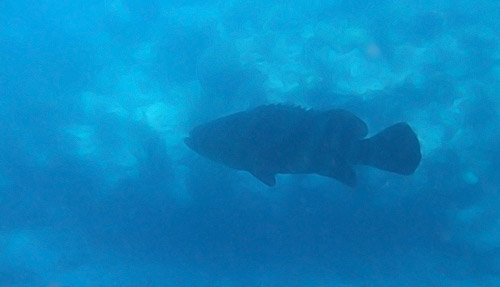 Colossal Grouper hanging out in the shade of the boat at Looe Key Reef
