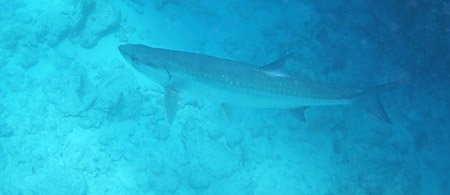 Tarpon at Looe Key Reef