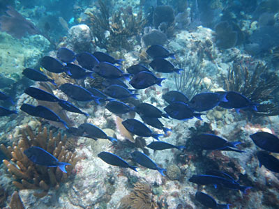 School of Blue Tang at Sombrero Reef
