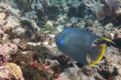 Snorkeling with a Blue Angelfish at Coffins Patch
